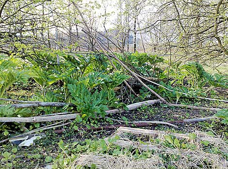 hogweed eradication
