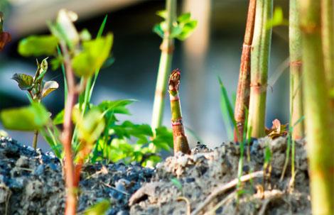 eradicating weeds