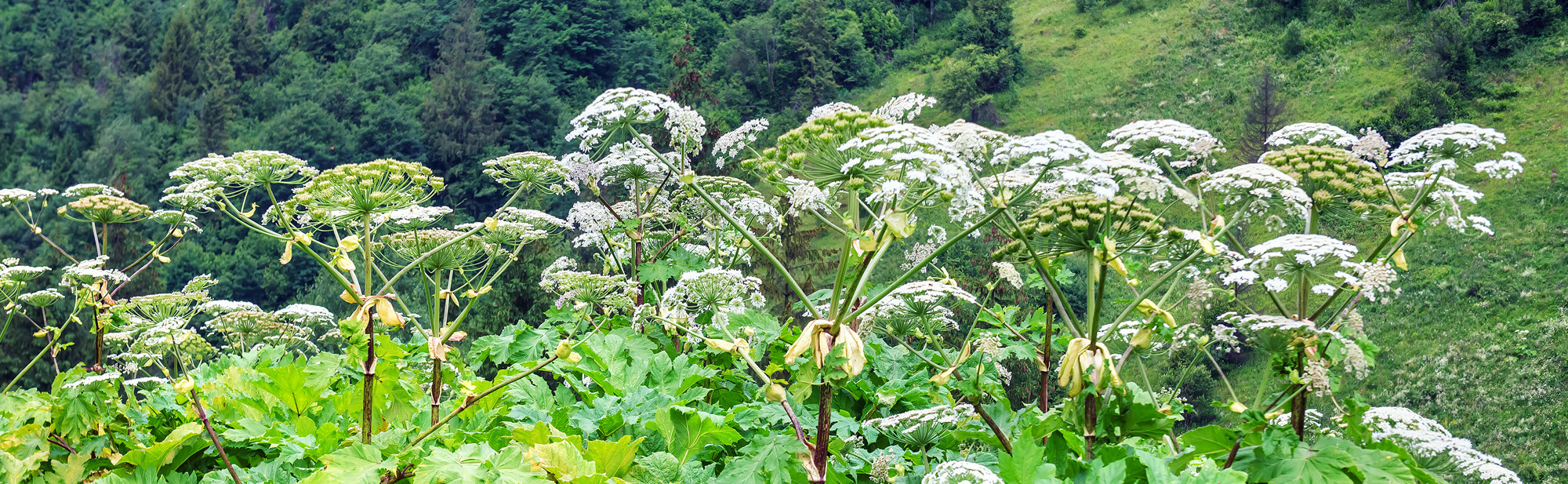 giant hogweed removal