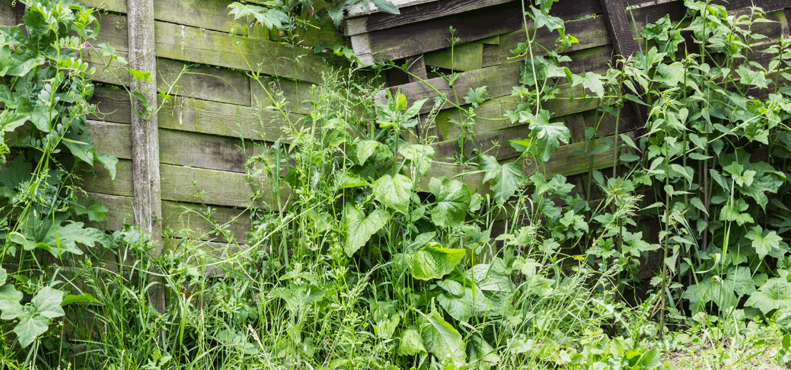 Are Dangerous Weeds Hiding In Your Garden Find Out More