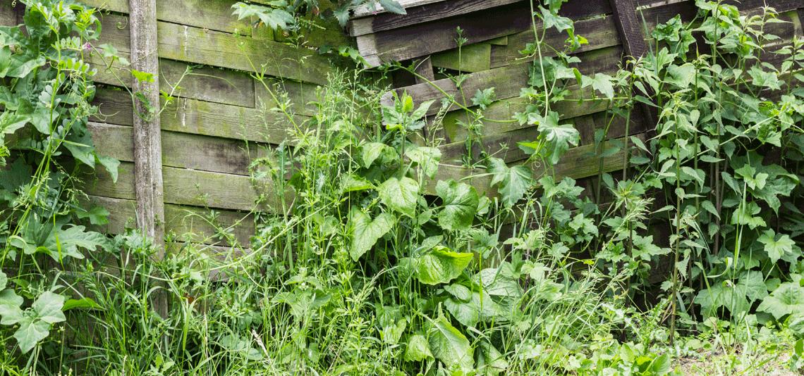 dangerous weeds