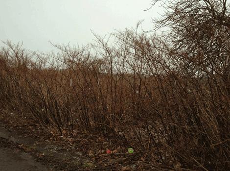 japanese knotweed dormant in winter