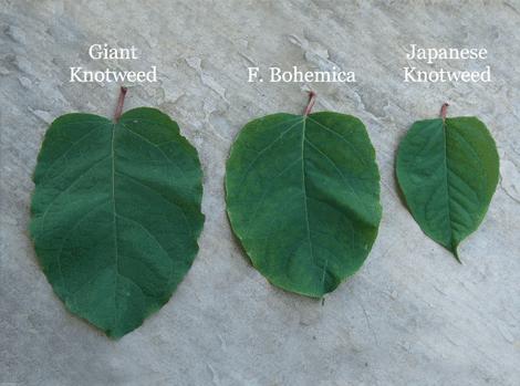 japanese knotweed identification