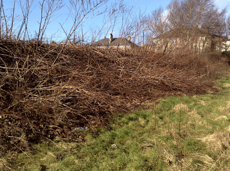 japanese knotweed dying