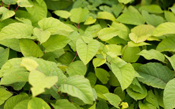japanese knotweed removal glasgow