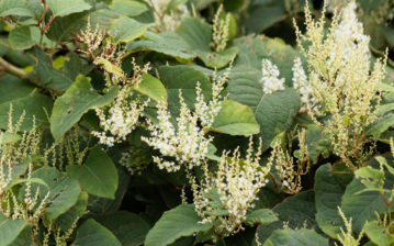 japanese knotweed eradication specialists edinburgh